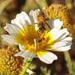45 degree square closeup photo of a yellow and white daisy flower with bee and little beetle visiting.